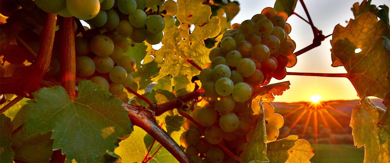 Weinrebe mit Traube im Sonnenlicht vor der Weinlese